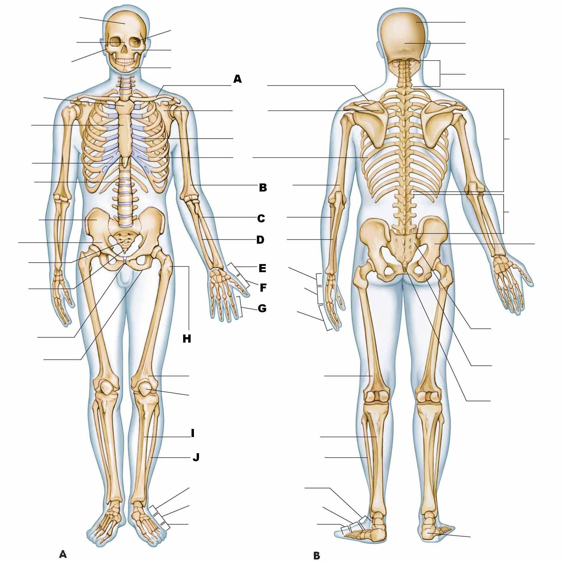 Μυοσκελετικό - Αρθρώσεις